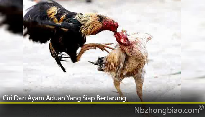 Ciri Dari Ayam Aduan Yang Siap Bertarung