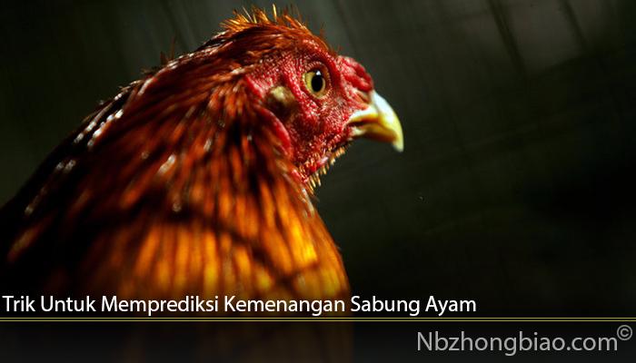 Trik Untuk Memprediksi Kemenangan Sabung Ayam