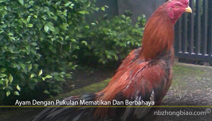 Ayam Dengan Pukulan Mematikan Dan Berbahaya