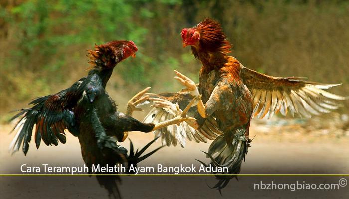 Cara Terampuh Melatih Ayam Bangkok Aduan