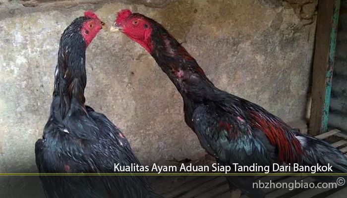 Kualitas Ayam Aduan Siap Tanding Dari Bangkok
